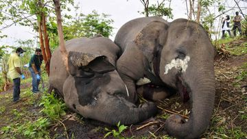 Vets check the dead bodies of wild elephants, suspected to have been killed by lightning in the Nagaon district of Assam state in India on May 14, 2021.