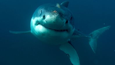 Shark control debate reignites after death of diver
