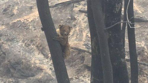 A koala clings to a burned tree near Samson Flat. (9NEWS)