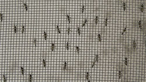 Mosquitos are kept in cages for researchers to collect their eggs as scientists work on stopping the spread of dengue fever. (Getty Images)
