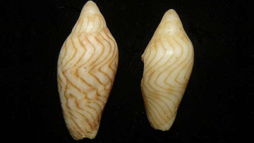 The new mollusk species was discovered after a Brisbane resident donated her shell collection to a museum.