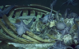 Marine life make a meal out of whale carcass