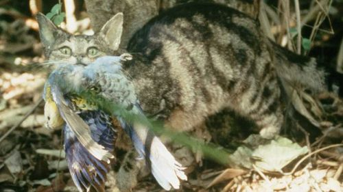 Cats kill more than one million birds in Australia every day. (Supplied/Brisbane City Council)