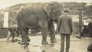 Jessie the elephant on a punt at the wharf enroute to new zoo