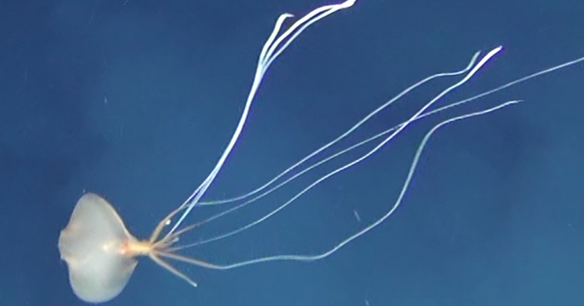 Mysterious deep sea squid found in Australian waters for first time – 9News