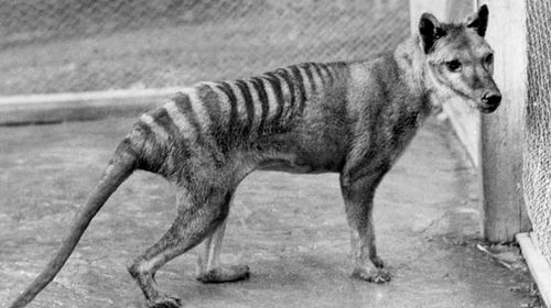 New search for the Tasmanian tiger