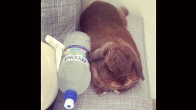 A pet owner gave her rabbit an icy water bottle to cosy up to. (Instagram: Kiwinessleaver)