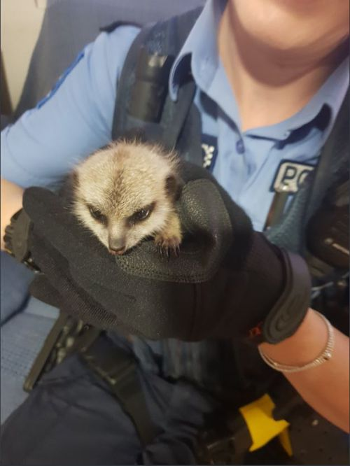Police located the baby meerkat at a property in WA's wheatbelt three days after it was abducted.