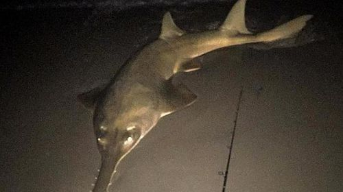 Qld fisher reels in large, rare sawfish