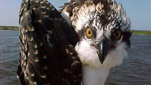 This 2017 photo from a US Fish and Wildlife Service motion-activated camera shows an osprey poses at the Back Bay National Wildlife Refuge in Virginia. (AAP)
