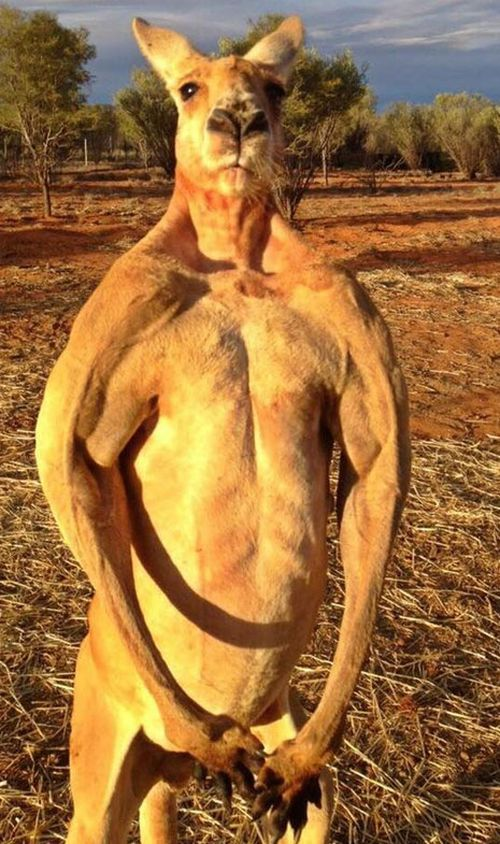 Aussie icon Roger the roo has died of natural causes this weekend