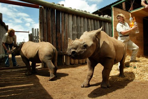 Thandi and Kapela, nine-month-old orphaned black rhinoceroses, run out of their transport crate after their release into a holding boma at Addo National Park, 50 miles north-east of Port Elizabeth, South Africa.