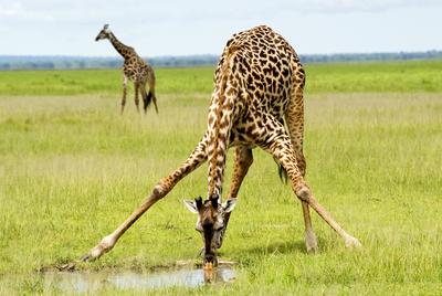 Giraffe hearts aren't unusually big