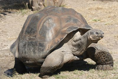 <strong>Size matters to the Galapagos tortoise</strong>
