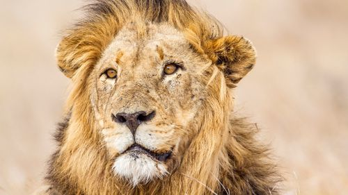 Lions found mutilated and poisoned in South Africa