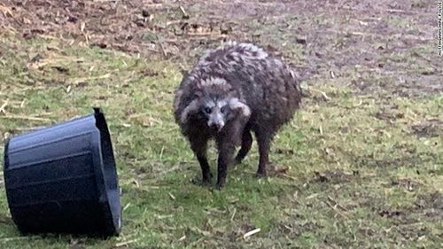 A local in Nottinghamshire snapped a photo of one of the raccoon dogs after they escaped their enclosure on Tuesday.