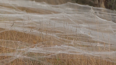 Careful spun webs stretched for kilometres in Wetlands along the South Gippsland Highway.