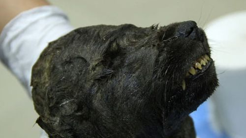 Scientists are running tests on the body of the canine, which is 18,000 years old.Love Dalen