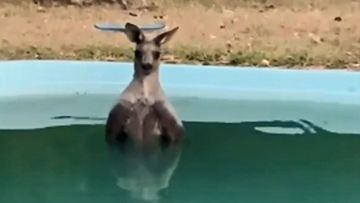 A roo cools down in a backyard pool in Merriwa, NSW.