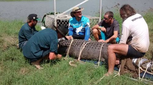Massive saltwater croc gets marching orders after epic trek to Northern Territory fish farm