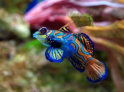 <strong>Mandarinfish are perverts</strong>