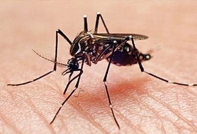 Mosquito (Getty)