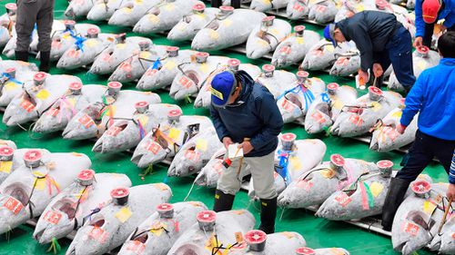 The auction prices are way above usual for bluefin tuna. The fish normally sells for up to $124 a kilogram, but the price rises to over $281 a pound near the year's end, especially for prized catches from Oma in northern Japan.