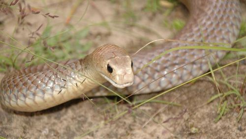 The snake was believed to be an Eastern Brown snake, measuring about 1.5m long. (File)