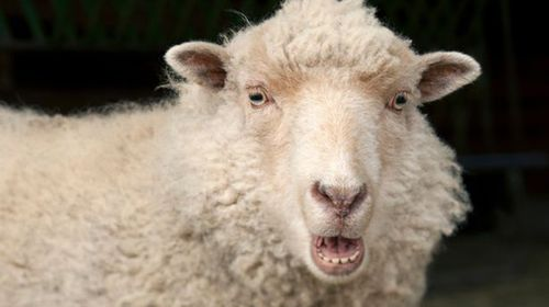 Sheep in grip of reefer madness menace Welsh countryside