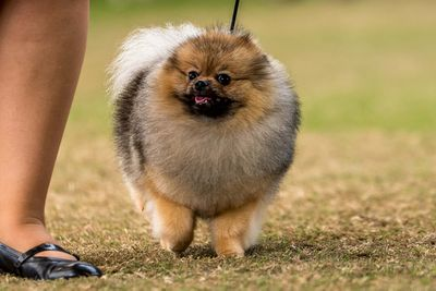 Best in show: Pomeranian