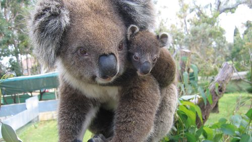 A mother koala and her joey. (AAP file image)