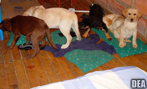 A 2005 photo showing some of the puppies allegedly used as drug smugglers. (Photo: DEA).