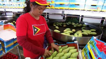 How picking mangoes is changing the lives of Timorese workers