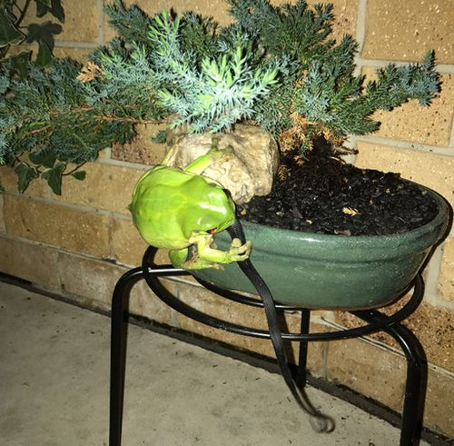 The frog has lived at the property for some time but the owners have never seen it eat a snake. (Supplied/Jenny Basford)