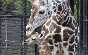 'Hope' the baby giraffe borne in New Orleans amid the pandemic