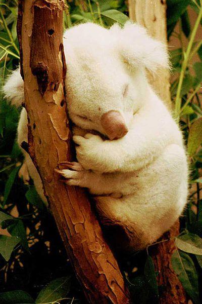Albino Koala<br>