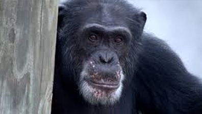 'Meet the Chimps' gives us a peak into the lives of these fascinating apes.