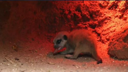The mystery over a missing baby meerkat at Perth Zoo continues, one day after it disappeared from its enclosure.