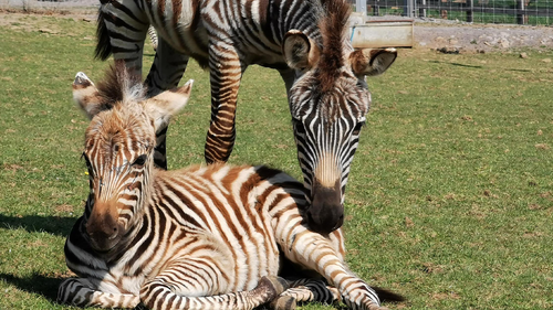 A baby zebra has been startled to death in a UK zoo