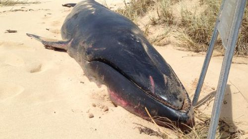 Cyclone brings rare whale carcass to Western Australian beach