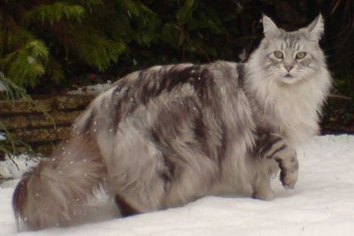 <p>TheMaine coon</p>