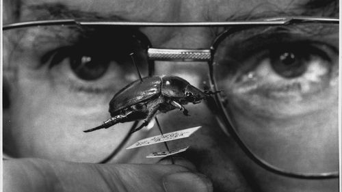 The then collection manager of the insect division at the Australian Museum, Max Moulds, pictured with a Christmas Beetle specimen in 1992.