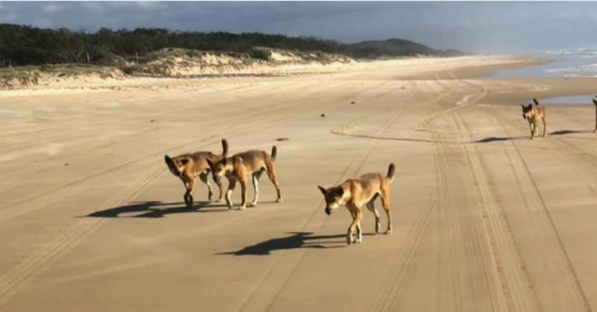 Boy attacked by dingo on Fraser Island – 9News