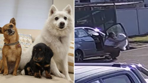 Atlas the Japanese Spitzer (white dog in left image) was stolen from outside a Fairfield home (right).