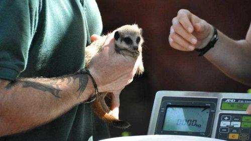 Meerkat kit's daring escape from vet
