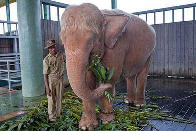 <p>Albino elephant</p>