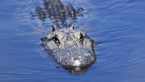 L'alligatore di un subacqueo si morde la testa in Florida, negli Stati Uniti.
