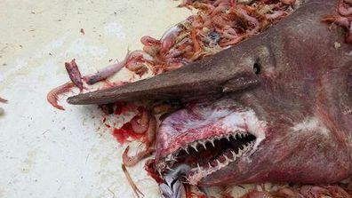 The horrifying rare 'goblin shark' captured off Florida. (Supplied)