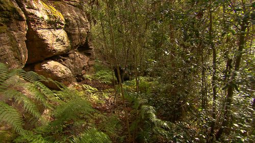 The Wollemi Pine has been around for around 200 million years. Picture: 9NEWS