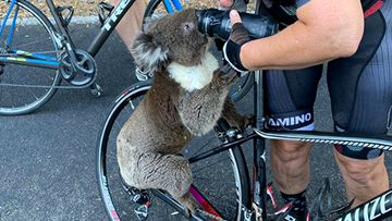 A South Australian woman has been approached by a thirsty koala searching for water, as a heatwave continues to grip the state.